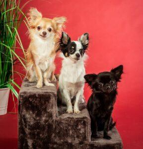 Maja, Blackhood und Elli - Büro Chihuahuas